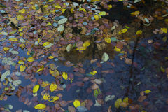 Water colored by fallen leaves. Water colored with leaves in autumn royalty free stock image