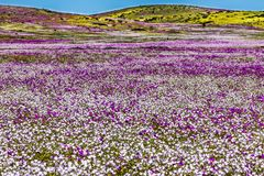Water comes to the driest desert in the World: Atacama blooming flowers stock images