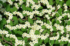 Water Cotoneaster Stock Image