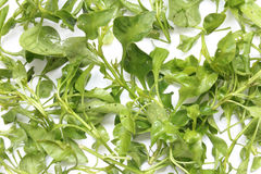 Water cress Stock Photography