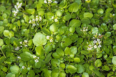 Water cress, Nasturtium officinale Royalty Free Stock Image