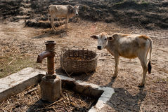 Water crisis. A cow is tied up with a broken hand pump of drinking water in a village of Sunderban India.Due to super cyclone AILA in 2009 all the drinking water Stock Images
