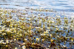 Water Crowfoot plant is blooming on sunny day. Water Crowfoot Batrachium circinatum plant is blooming on sunny day. Close view royalty free stock images