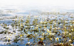 Water Crowfoot plant is blooming on sunny day. Close view royalty free stock photo