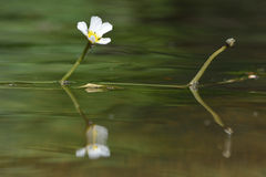 Water crowfoot (Ranunculus sp.) in flower near Bath, UK Stock Images