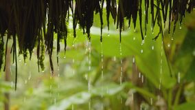 Water curtain on amazonian jungle. Detail shot of water drops curtain on amazonian jungle slow motion in Ecuador stock video footage