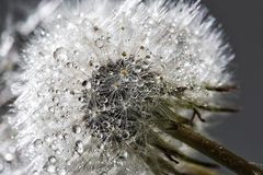 Water, Dandelion, Macro Photography, Close Up Stock Photos