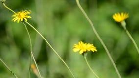 Water dat op gele wilde bloemen valt stock video
