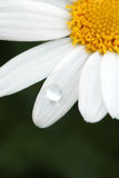 Water dew drop on daisy flower Royalty Free Stock Photo