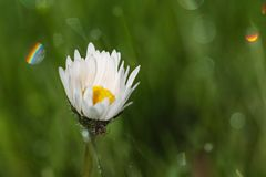 Dew drop on daisy flower. Water dew drop on daisy flower Royalty Free Stock Photography