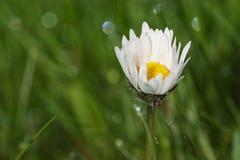 Dew drop on daisy flower. Water dew drop on daisy flower Stock Images