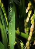 Water dew or droplets on a Japanese rice leaf at night. Close up shot. Rice are ready for harvest. stock photos