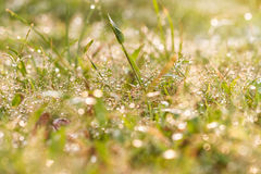 Water dew on grass Royalty Free Stock Images