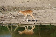 Water die herten weerspiegelen Stock Afbeelding