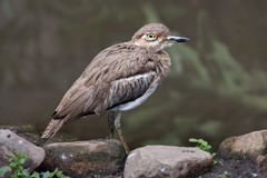 Water Dikkop or Thick-knee bird Stock Photos