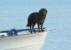 Water dog Stock Images