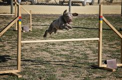 Water dog jumping obstacle of a circuit stock images