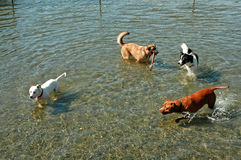 Water Dog Posse. Four dogs playing in the water at Marymoor Park in Redmond, WA Stock Photography