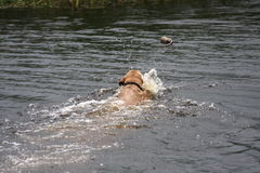 Water-dog retrieving a toy. Golden k-9 retrieving with a wake and ripples following.  Dog swimming in the bayou Royalty Free Stock Image