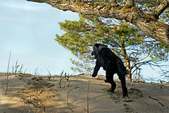 Water Dog on the Run. A young Portuguese Water Dog heads for water over a sand dune in Wasaga Beach Provincial Park, Ontario Stock Photos