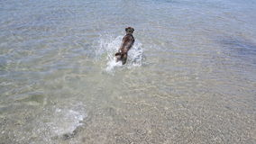 Water dog. Dog running in the water Stock Photo