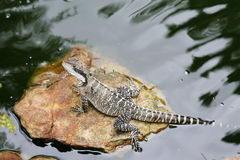 Water dragon Stock Photography