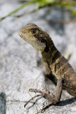 Water Dragon. A water dragon sitting on a rock stock image