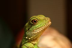 Water Dragon. Close up shot of head of a Chinese Water Dragon Stock Images