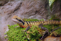 Water Dragon. Physignathus is a genus of large, diurnal and arboreal agamid lizards, commonly known as Water dragons. There are two species, the Chinese water stock photos
