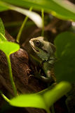 Water Dragon. Waterdragon hiding under green leaves Royalty Free Stock Images