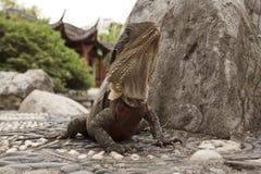Water Dragon , Australia - Physignathus Cocincinus Stock Images