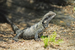 Water Dragon Basking Stock Images
