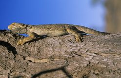 Water dragon on branch Stock Image