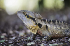 Water dragon Royalty Free Stock Photos
