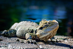 Water Dragon Royalty Free Stock Photography