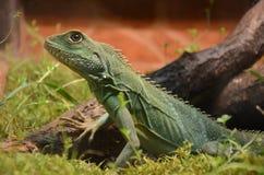 Water Dragon Lizard Stock Foto's