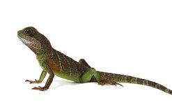 Water dragon lizard Royalty Free Stock Image