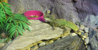 Water dragon lizard Stock Photos