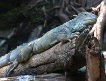 Water dragon lizard Stock Photo