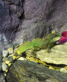 Water dragon lizard Stock Images
