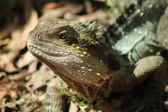 Water Dragon Lizard Stock Photography