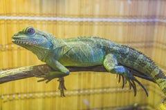 Water dragon lizard Royalty Free Stock Photo