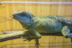 Water dragon lizard Stock Image