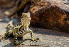 Water Dragon Lizard. Rainbow Bay Beach Queensland Royalty Free Stock Photos