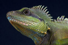 Water dragon  / Physignathus cocincinus Stock Photo