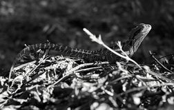 Water Dragon Physignathus lesueurii - B&W stock photography