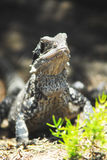 Water Dragon. Portrait of an Australian Water Dragon lizard on a leafy ground Royalty Free Stock Images