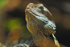 Water Dragon Portrait Stock Photos
