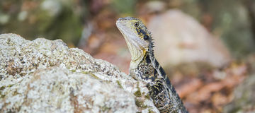 Water Dragon resting on a rock. Stock Photos