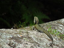 Water dragon watches and waits Stock Photo